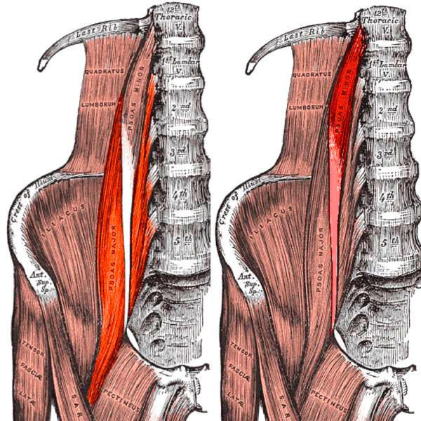 Анатомическое строение подвздошно-поясничной мышцы