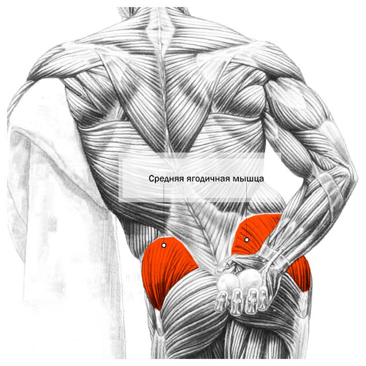Средняя ягодичная мышца анатомия