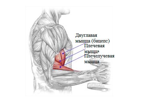 Как работает бицепс плеча