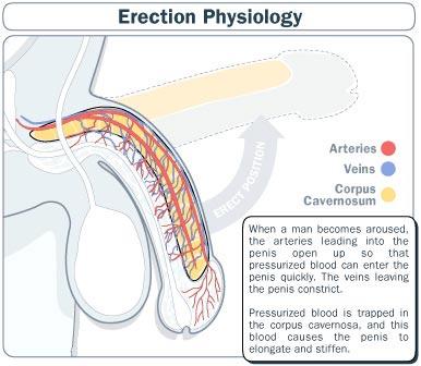 erection-physiology