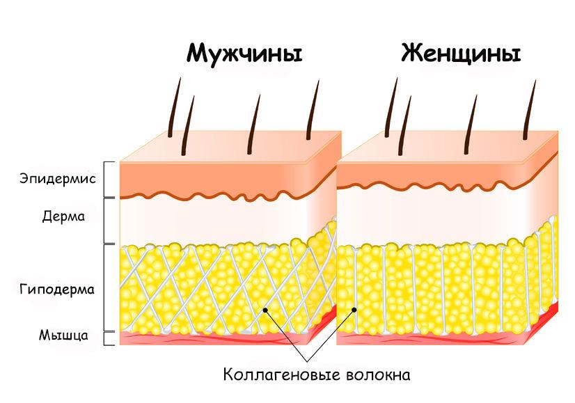 Строение кожи мужчин и женщин