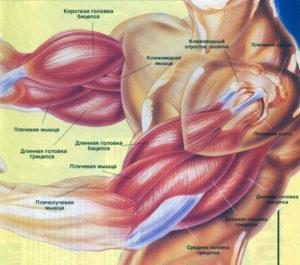 Строение мышц рук